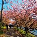 写真: 河津桜2