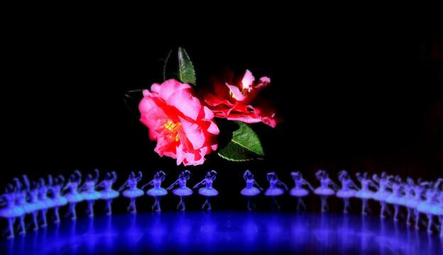 山茶花の舞
