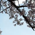 1356 桜は青空が似合う