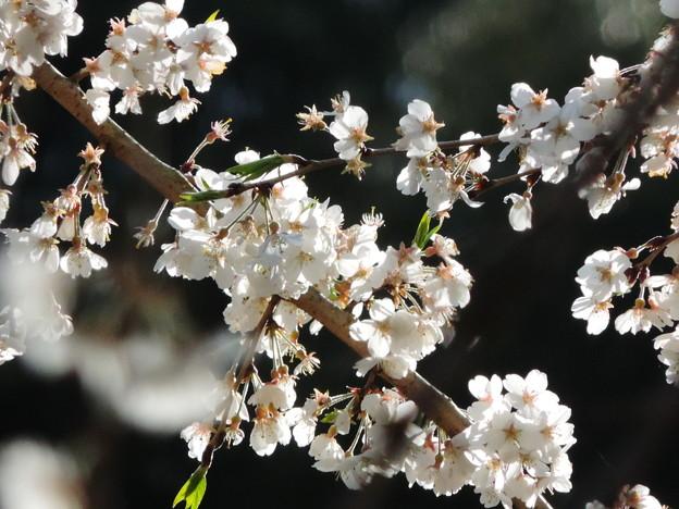 1377 桜花
