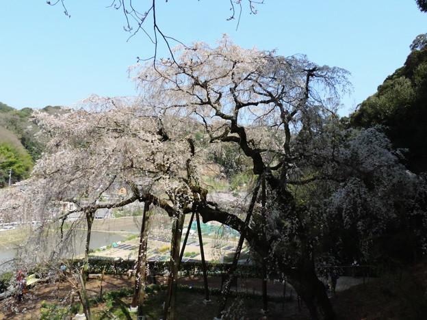 1379 奥山田のシダレザクラ