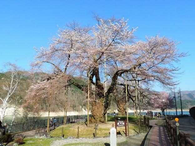 1385 荘川桜