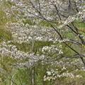 1387 嬉しいね残り山桜