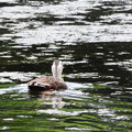 7024 小浜池のカルガモ