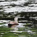 Photos: 7024 小浜池のカルガモ