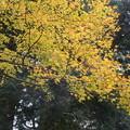 2374 黄葉するモミジ