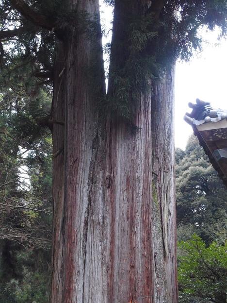 Photos: 2392 大杉