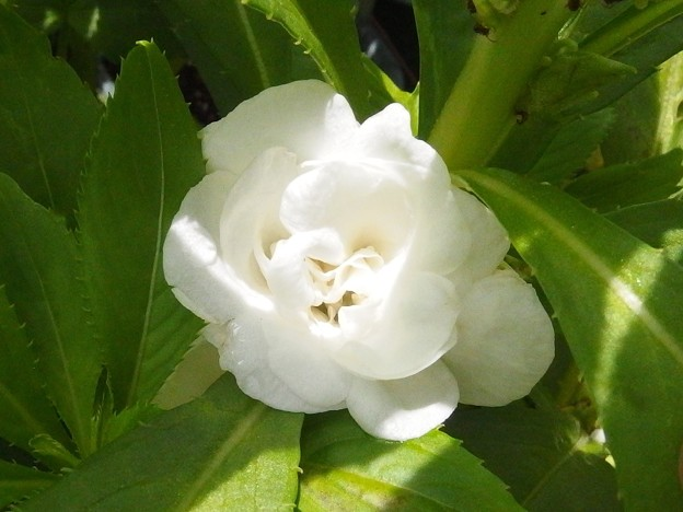 2397 椿咲きホウセンカ