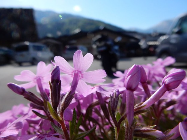 写真: DSCN1924 芝桜の季節