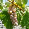 ワイン用ブドウ (3)