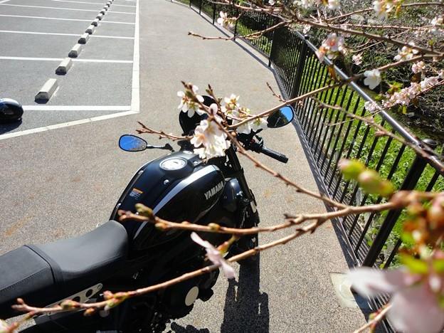 四季桜と (1)