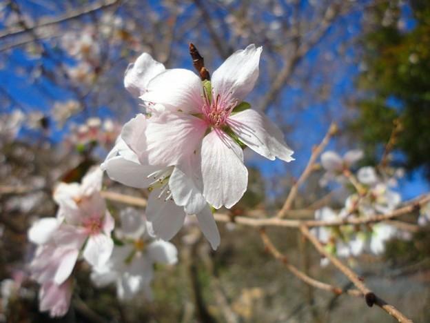 四季桜 (1)