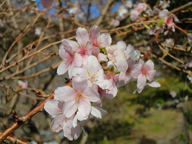 四季桜 (2)