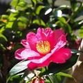 庭の山茶花 赤