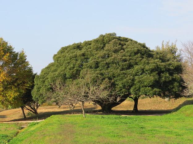 五重塔下の巨木