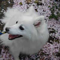 momo &桜