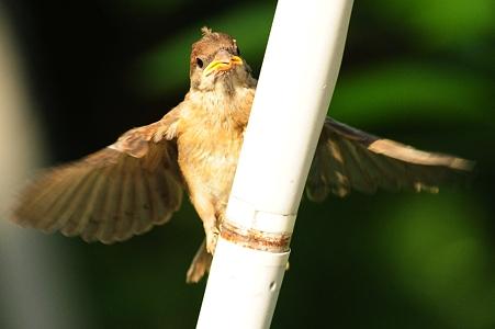 頑張ってもガンバッテモ飛べない幼いスズメ
