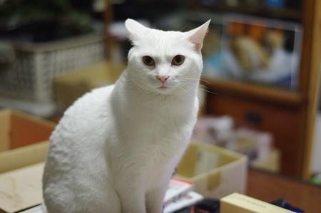 2017年6月23日のシロちゃん(雌4歳)