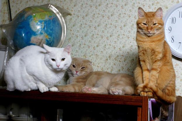写真: 2018年2月4日のスコちゃん(雄5歳)とシロちゃんと茶トラのトラちゃん(雌4歳)