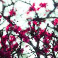 写真: 紅梅の夢をみた