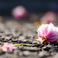 写真: 落ち花の色