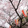 写真: 上野公園櫻花