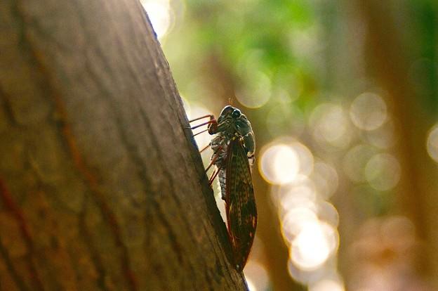 Photos: 夏フェスを聴く蝉