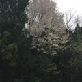 写真: 国道439の桜