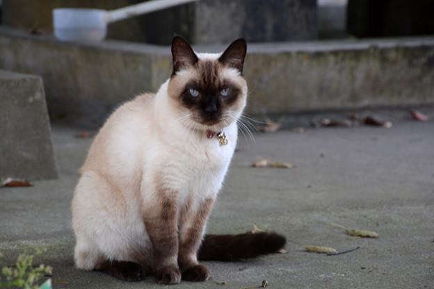 石巻市鹿島御児神社の猫2