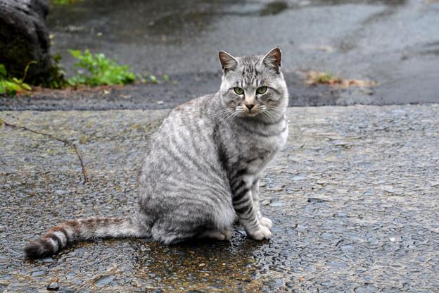 田代島のシマ猫2