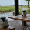 田代島公園の猫2