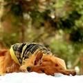 Photos: 残雪に戯れて~うへぇへへへぇ~よろピコぴょん~♪