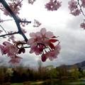 エゾヤマザクラが開花しました~(´▽`)ノ