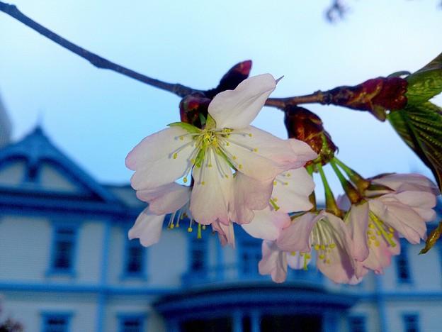 写真: 水色の館・豊平館とエゾヤマザクラ~♪