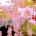 一輪の枝垂れ桜の輝き~♪