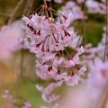 写真: 枝垂れ桜の覗き見~♪
