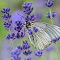 写真: Lavender Blue&White