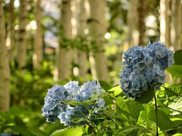 Photos: Japanese White Birch&Blue Hydrangea