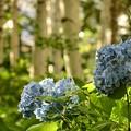 Japanese White Birch&Blue Hydrangea