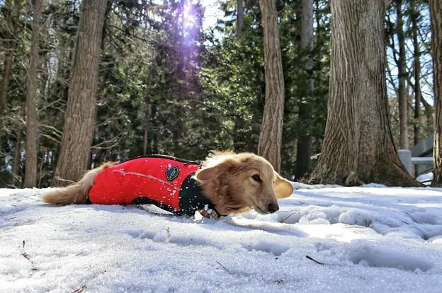 写真: ザクザク雪で歩きずらいワン~♪