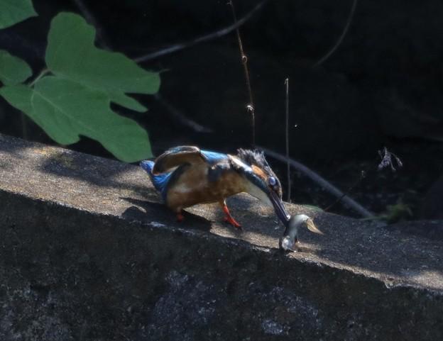Photos: カワセミさん 餌ゲット
