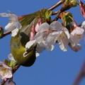 玉縄桜とメジロ