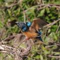 Photos: 翡翠 カワセミ  kingfisher