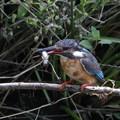 カワセミ母鳥