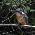 Photos: カワセミ母鳥