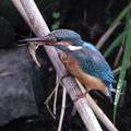 Photos: カワセミ 翡翠 Kingfisher