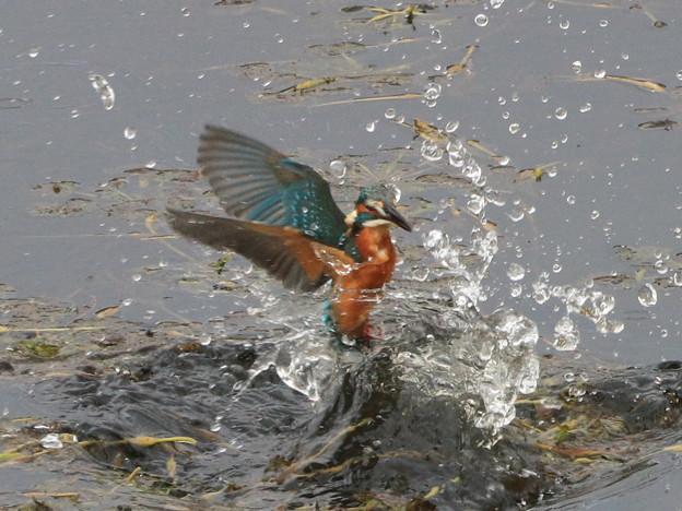 Photos: カワセミ 離水