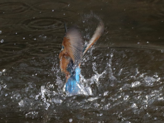 Photos: 翡翠  離水の瞬間
