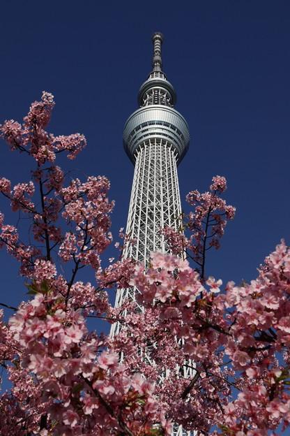 河津桜とスカイツリー