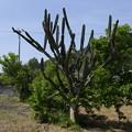 写真: サボテンの木